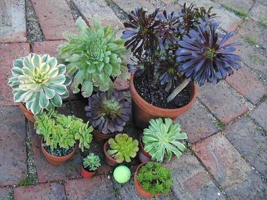 Aeonium - Several Varieties