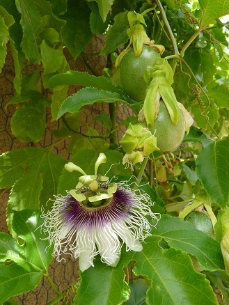 Frederick Purple Passion Fruit Flower