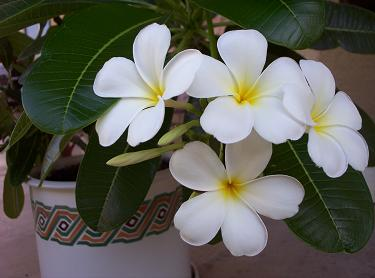 Plumeria from cutting - Singapore Obtusa