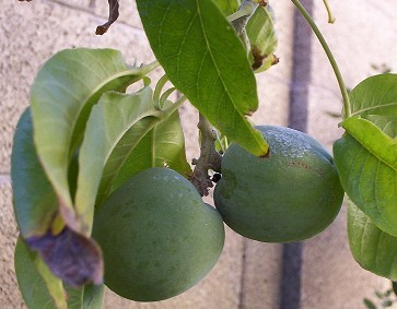 White Sapote Fruit On The Tree - Still Green